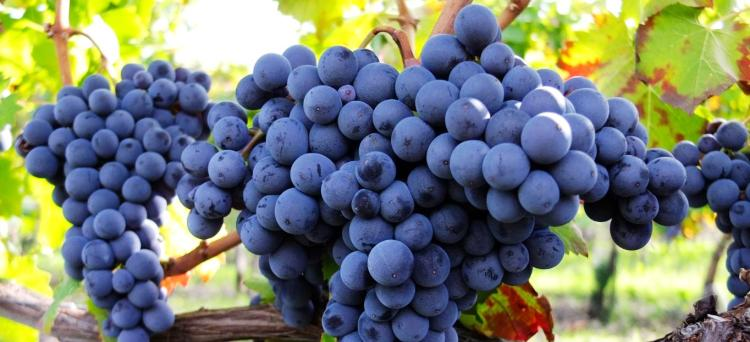 Non è corretta la rettifica Iva basata sulle rese medie dell'uva da mosto, quando la determinazione del valore normale dei terreni lottizzati sia avvenuto in altra data rispetto a quella considerata